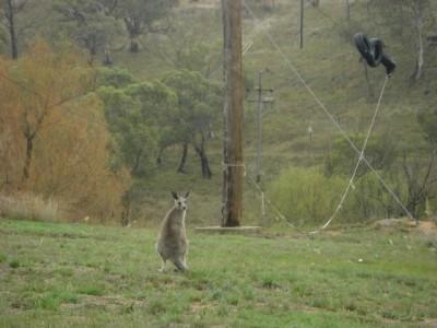 オーストラリア スレッドボー